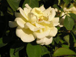 Photo of Yellow Rose Thumbnail