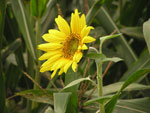 Photo of Sun Flower