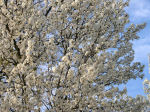Blossoming Tree Thumbnail