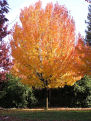 Fall Tree Thumbnail