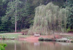 Photo of Weeping Willow Tree by Water