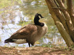 Photo of Geese