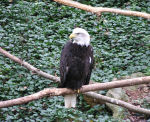 Photo of Bald Eagle