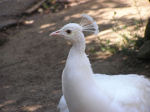 Photo of an Albino Peacock