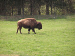 Photo of a Buffalo
