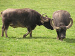 Photo of Water Buffalo