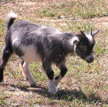 Photo of a Kid Goat