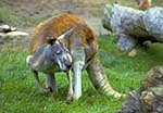 Photo of a Kangaroo