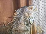 Photo of an Iguana