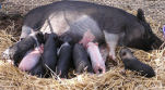 Photo of Sow and Piglets