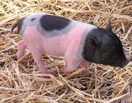 Photo of a Baby Pig