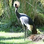 Photo of West African Crowned Crane