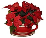 Photo of a poinsettia