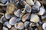 Pictures of River Shells